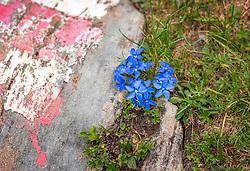 THEMENBILD - Der Frühlings-Enzian, auch Schusternagerl, Schusternägele, Rauchfangkehrer, Himmelsbläueli, Herrgottsliechtli, Tintabluoma oder Himmelsstengel genannt, ist eine der kleinsten Pflanzenarten der Gattung Enziane, welche im alpinen Hochgebirge sehr verbreitet sind. Ein Stein mit rot weiß roter Farbe markiert den Wanderweg, aufgenommen am 01. Juli 2019, Kaprun, Österreich // The spring gentian, also called cobbler's rocket, cobbler's nail, chimney sweep, sky blue, Herrgottsliechtli, Tintabluoma or sky stem, is one of the smallest plant species of the genus Enziane, which is very common in the alpine high mountains. A stone with red and white red colour marks the hiking trail on 2019/07/01, Kaprun, Austria. EXPA Pictures © 2019, PhotoCredit: EXPA/ Stefanie Oberhauser