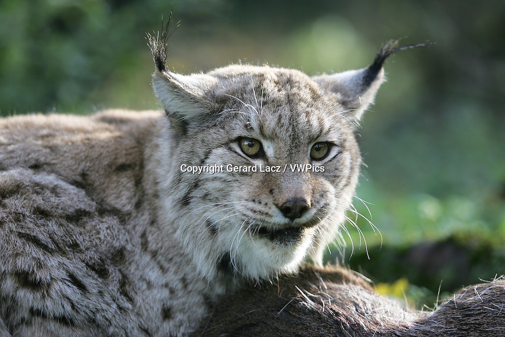 EUROPEAN LYNX felis lynx, ADULT WITH A ROE DEER KILL