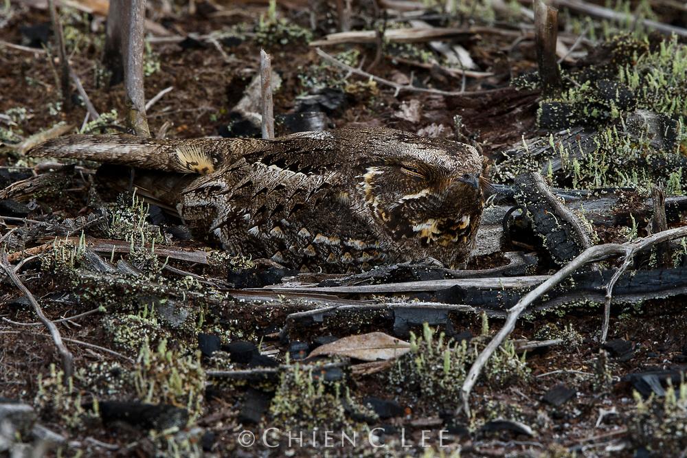 Madagascan Nightjar (Caprimulgus madagascariensis)