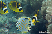 ornate butterflyfish, Chaetodon ornatissimus, and racoon butterflyfish, racoon coralfish, or raccoon butterflyfish, Chaetodon lunula, being cleaned by endemic Hawaiian cleaner wrasse, Labroides phthirophagus, Kahaluu Beach Park, Kona Coast, Hawaii Island ( the Big Island ) Hawaiian Islands ( Central Pacific Ocean )