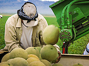 02 OCTOBER 2007 -- A farmworker harvests cantaloupes on a farm about 30 miles west of Buckeye, AZ.  PHOTO BY JACK KURTZ/DIGITAL FILE NO NEGS