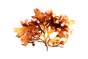 Red algae (Chylocaldia verticillata), Roscoff, France | Chondrus crispus (Rotalge), Roscoff, France