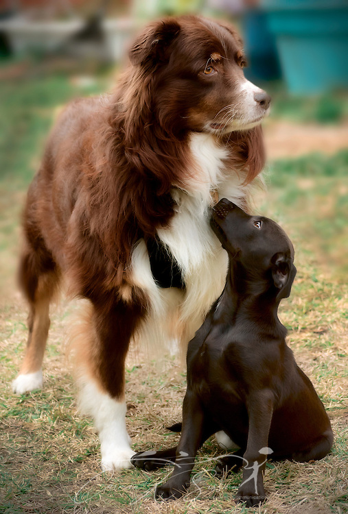 Cowboy, a six-year-old, red tri Australian Shepherd dog, hangs out with a new friend, a black, mixed breed puppy, Jan. 1, 2015, in Coden, Alabama. (Photo by Carmen K. Sisson/Cloudybright)