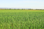 Israel, Negev Desert, Wheat Field