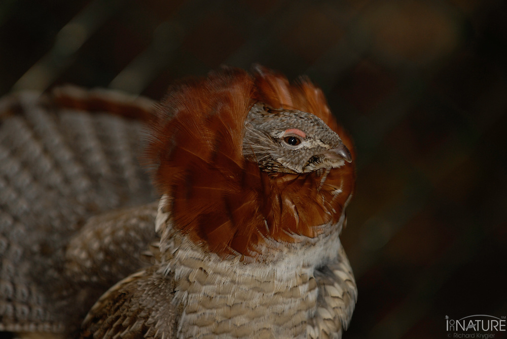 Spruce grouse cock in full display
