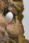 An Atlantic puffin (Fratercula arctica) rests on a rocky ledge on the Látrabjarg bird cliff in Iceland. Látrabjarg is Europe's largest bird cliff, 14 km (8.7 miles) long and up to 440 meters (1444 feet) above the Atlantic Ocean.