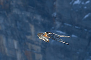 Flying bearded vulture (Gypaetus barbatus) against a rock face, Leukerbad, Valais, Switzerland