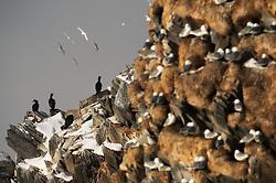 Bird cliff with Common Shag (Phalacrocorax aristotelis), Hornøya, Finnmark, Norway