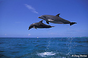 bottlenose dolphins, leaping<br /> Tursiops truncatus (c-r), <br /> Bahamas ( Atlantic )