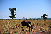 12-03-29   -- LIRA, UGANDA --  An ankole cow grazes on the site of the Erute IDP camp, once home to approximately 14,000 people.  Photo by Daniel Hayduk