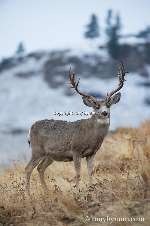 trophy mule deer buck on ridge in grass mountain habitat forest trees