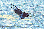 Bayou's tail injured with a collision with a boat propeller