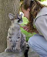 VALLEJO, CA - APRIL 26:  Chris Llewellyn, supervisor of wildlife plays with one of three 11 month old cougar cubs at Six Flags Discovery Kingdom on April 26, 2007 in Vallejo, California. The cougar cubs were given to the park from the Idaho Fish & Game in March after they were found motherless in the wild and it was determined that they would not survive in the wild. They will be a part of the park's Wildlife Theater show.  (Photo by David Paul Morris)