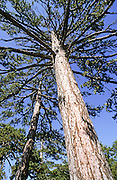 Cyprus, Troodos mountains, Black pine tree (Pinus nigra)