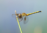 Saltmarsh Dragonfly (Seaside Dragonlet); Erythodiplax berenices; female; MD, Chesapeake Bay 2690-03