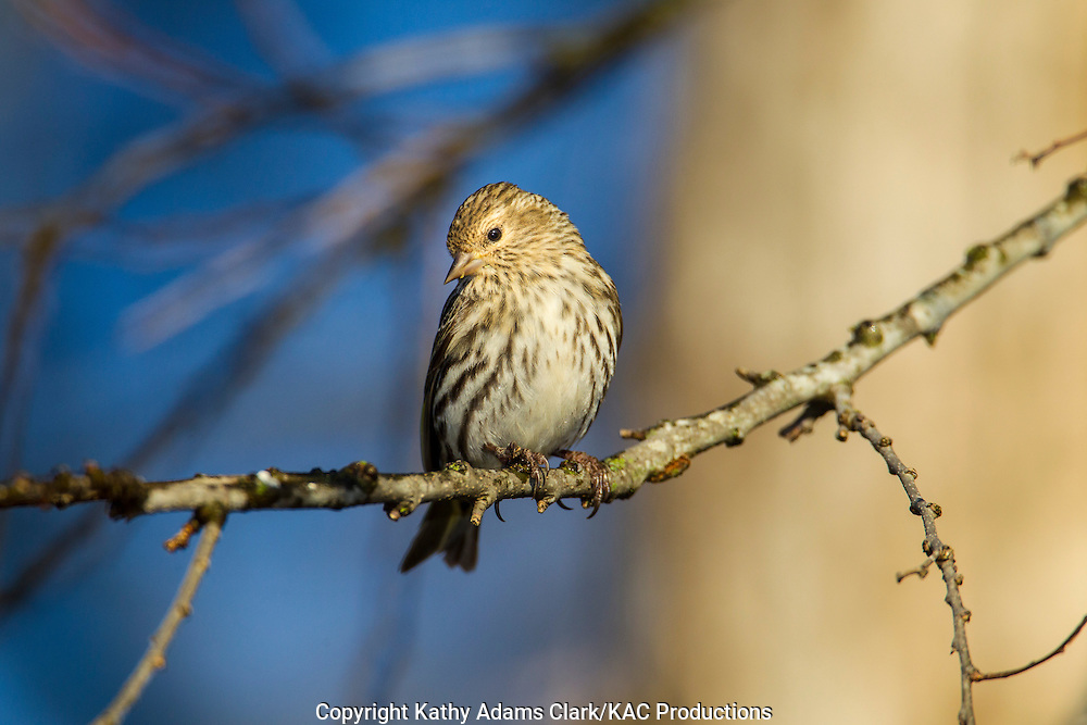 Pine Siskin (Carduelis pinus) perched in a tree in the Texas Hill Country.