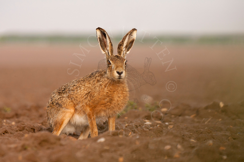 European Hare (Lepus europaeus) adult, sitting on ploughed field, Norfolk, England