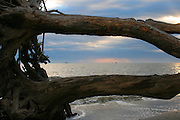 Sunrise or sunset by the sea, looking through driftwood trees with Shrimp boats on the horizon.