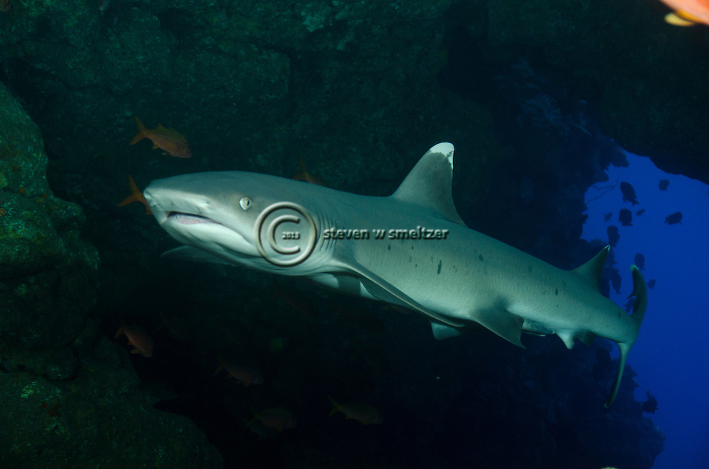 White-tip Reef Shark, Profile, Triaenodon obesus, (Rüppell, 1837), mano lalakea, Lanai, Hawaii