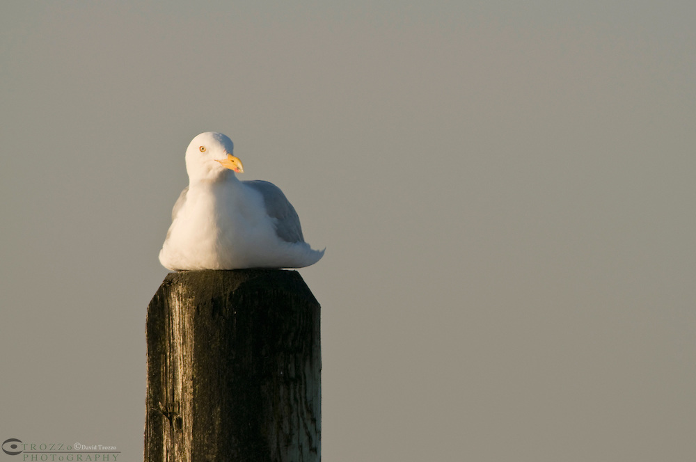 A Herring Gull, Larus argentatus, rests on a piling on a beach in Cape May. NJ. The large gull  breeds across North America, Europe and Asia