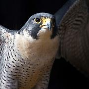 Peregrine Falcon, Falco peregrinus, flapping wings. Turtleback Zoo, West Orange, NJ