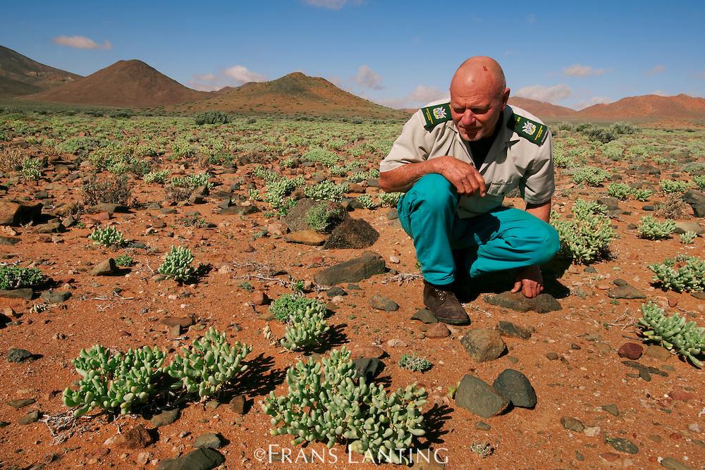 Chief park warden Trygve Cooper observing succulent plants. Aizoaceae sp., Sperrgebiet National Park, Namibia