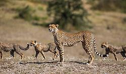 A cheetah mother and three cubs (Acinonyx jubatus) walking together in the morning,  Ndutu, Ngorongoro Conservation Area, Tanzania, Africa