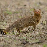 Slender Mongoose (Galerella sanguinea). Mpumalanga, South Africa.