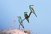 Three European Bee-eaters, Merops apiaster perched on a branch Israel in Spring