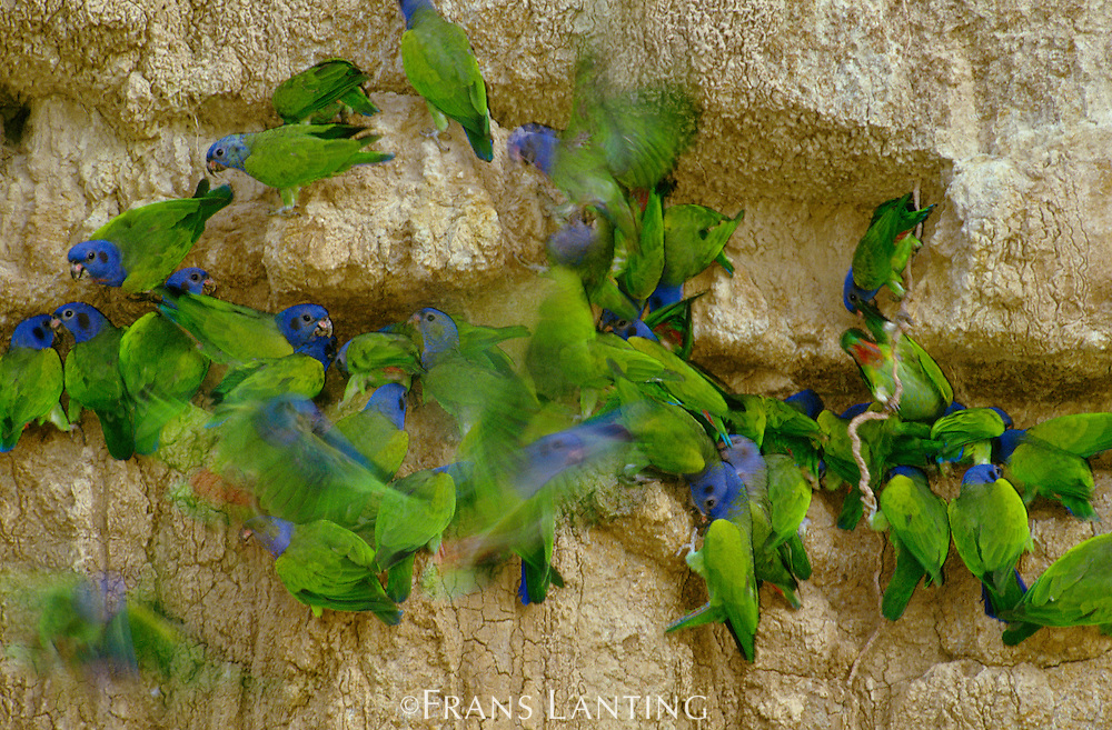 Blue-headed parrots at clay lick, Pionus menstruus, Manu National Park, Peru
