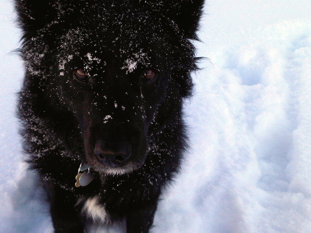 Black dog in the snow.