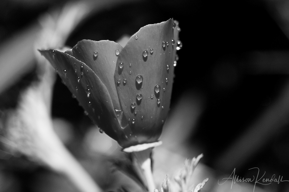 A California poppy seems to glow, as it drips with raindrops