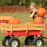 Sofie Kellum, 4, of Calhoun City, picks out one of her many Pumpkins as she loads it into a wagon during her visit to the Pumpkin Patch at the Tupelo Buffalo Park and Zoo on Monday. Sofie visited the patch with the Lewis Memorial Daycare from Calhoun City.