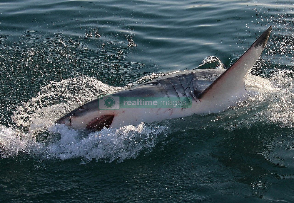 """EXCLUSIVE: Great white sharks have mysteriously vanished from one of their most popular hunting grounds in South Africa leaving tourism bosses baffled as to what has driven away one of their biggest money spinners. Theories include a fear of Orca's who have been targeting the apex predators tearing them open to eat their fatty livers as well as pollution, climate change and over fishing of much of the great whites natural prey. Between 2010 and 2016 shark spotters recorded an average of 205 great white sightings a year in False Bay which is a 600 square mile section of the Atlantic Ocean near tourist hot spot Cape Town. In 2018 they were only 50 sightings of the deadly predators made famous by the Hollywood blockbuster Jaws and so far this year not a single one of the much-feared great white shark has been spotted. And it has been two years since the Shark Spotters Applied Research Programme has picked up a signal from any of the great white's that had been tagged by scientists and were resident in False Bay. This comes after 5 great white sharks were washed up along the South African coastline in 2017 with gaping wounds on their side with their livers having been bitten out by two killer whales in the area. The killer whales bite a large slit in the side of the great whites after attacking as a pair and then suck out the fatty liver which is 600lb meat delicacy in a phenomenon that has only recently been discovered. The two Orca's responsible – known as Port and Starboard as their dorsal fins hang to the left on one and to the right on the other – spurned their natural prey like seals having developed a taste for shark. The great whites population in False Bay sea to be taking no chances and have moved to new hunting grounds away from Seal Island but it is hoped that they will in time return to their usual hunting ground. The City of Cape Town said: """"Great white sharks have been noticeably absent from False Bay during 2019 prompting questions as to when t"""