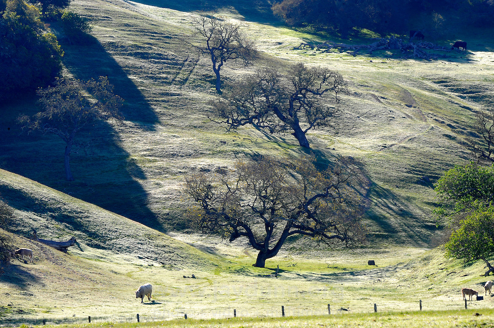 Cattle enjoy the lush mid-March growth on the hills of Toro Park off Rt. 68, the Monterey-Salinas highway.
