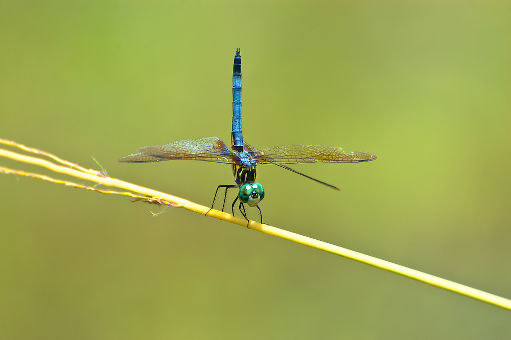 A male blue dasher photographed next to a pond near Thomasville, Georgia.