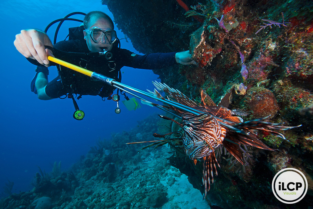 Diver killing a Red Lionfish (Pterois volitans) invasive species, Blackish Point, Utila Island, Bay Islands, Honduras, April