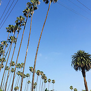View of Hollywood, CA Palm trees