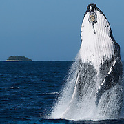 Humpback whale (Megaptera novaeangliae) breaching. Photographed in Vava'u, Kingdom of Tonga.