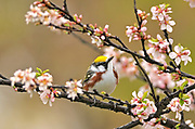 Chestnut-sided (Dendroica pensylvanica) Warbler in Nanking cherry tree in spring<br />