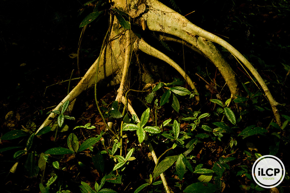 Aerial root in lowland rainforest, Tawau Hills Park, Sabah, Borneo, Malaysia