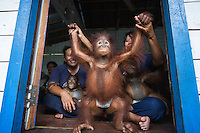 A baby Bornean orangutan (Pongo pygmaeus) in a diaper practicing walking, holding hands with a caretaker. Most of the orangutans at this facility were rescued from the illegal pet trade and are being rehabilitated for release into the wild. Orangutan Care Center and Quarantine | Orangutan Foundation International. *Not Model Released - Editorial Only*