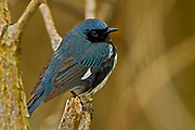 Black-throated blue warbler (Dendroica caerulescens)<br />