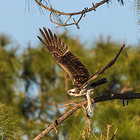 Osprey on the wing