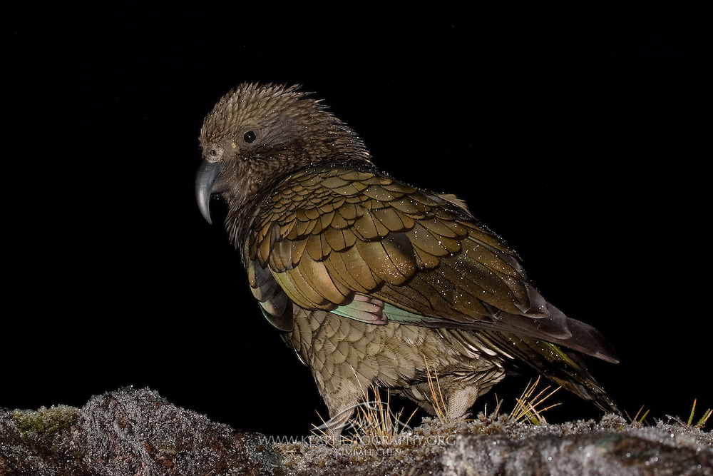 A curious kea parrot at night, along the Milford Track, Fiordland.
