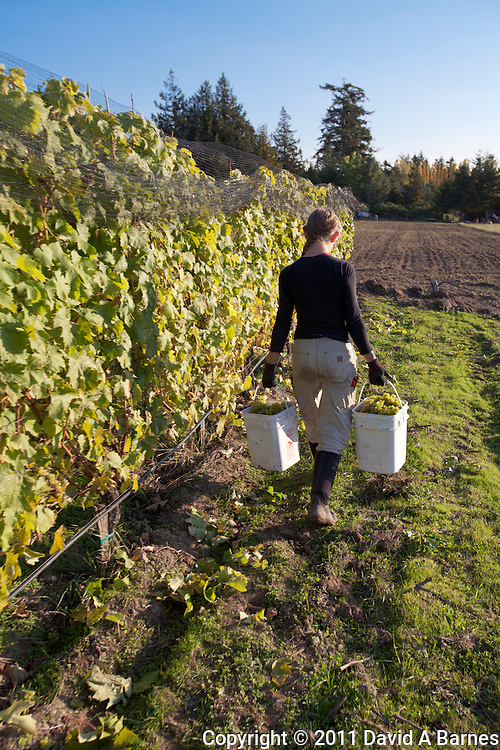 Young woman carrying buckets full of freshly harvested Madeleine Angevine grapes in vineyard.