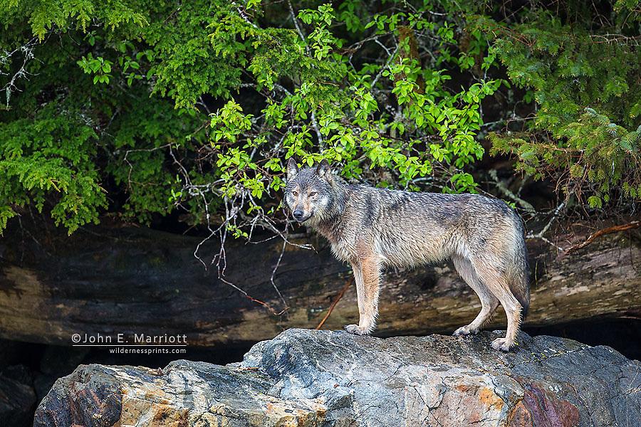 Wild coastal wolf, BC