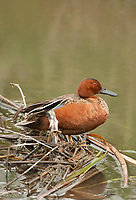 A male Cinnamon Teal rests on a small bunch of reeds on the edge of a marsh pond.