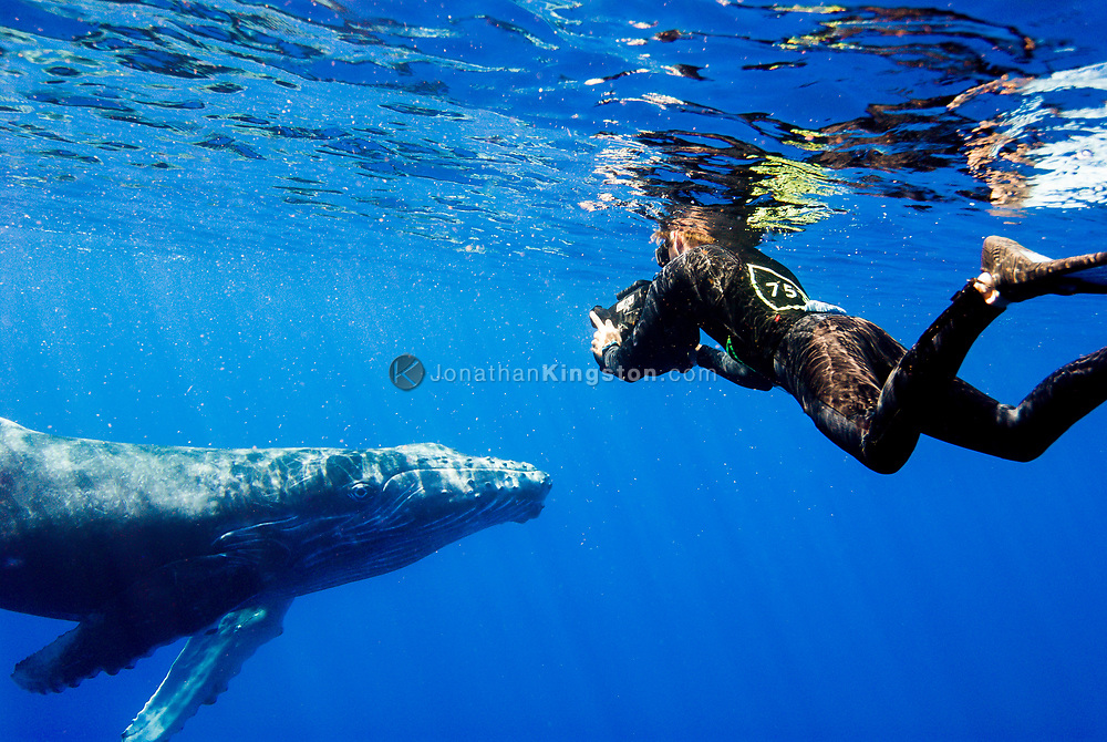 Researcher Jason Sturgis (MR) filming a friendly calf Humpback whale (Megaptera novaeangliae) in the Hawaiian Islands Humpback Whale National Marine Sanctuary in Maui, Hawaii. NOTICE MUST ACCOMPANY PUBLICATION: Photo obtained under NMFS Permit #753.