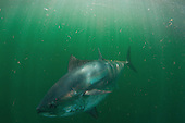 Tuna_bluefin